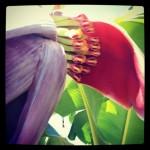 Dwarf Ducasse Flower