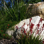 Kangaroo Paws and Sandstone