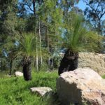 Grass Trees and Sandstone Boulders